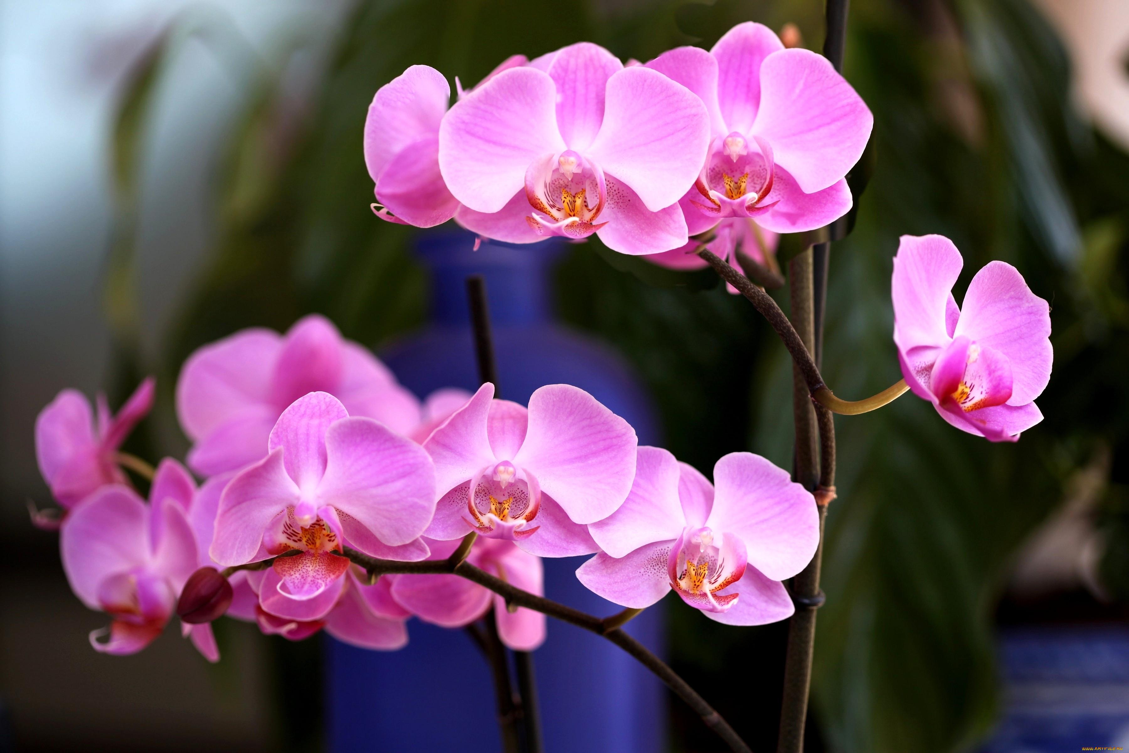 речь пойдет фото цветы обои на рабочий стол орхидеи тип